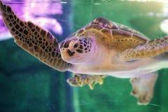 Cierre hermoso de la tortuga de mar para arriba imagenes de archivo