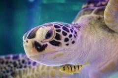 Cierre hermoso de la tortuga de mar para arriba imagen de archivo