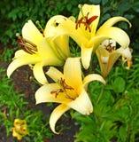 Cierre hermoso del brote de flores del lirio para arriba Foto de archivo libre de regalías