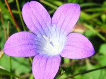 Cierre hermoso del brote de los rapunculoides de la campánula para arriba fotos de archivo libres de regalías