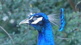 Cierre hermoso del pavo real encima del tiro metrajes