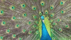 Cierre hermoso del pavo real para arriba almacen de video