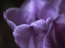 Cierre hermoso del tulipán de la lila para arriba imagen de archivo libre de regalías