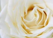 Cierre hermoso encima de los pétalos color de rosa blancos Fotografía de archivo