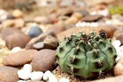 Cierre hermoso encima del cactus del baldianum del Gymnocalycium en jardín Foto de archivo libre de regalías