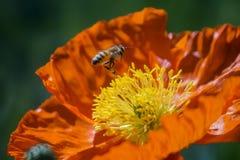 Cierre hermoso encima del tiro de la amapola común con la abeja Imágenes de archivo libres de regalías