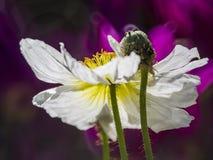Cierre hermoso encima del tiro de la amapola común con la abeja Imagen de archivo libre de regalías