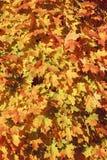 Cierre hermoso encima del tiro de la imagen con las hojas de arce secas rojas amarillas coloridas de la caída del otoño en árbol, Fotos de archivo libres de regalías