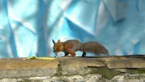 Cierre hermoso encima del tiro en Forest Red Squirrel almacen de metraje de vídeo