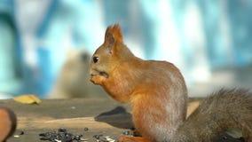 Cierre hermoso encima del tiro en Forest Red Squirrel Eats semillas La ardilla roe nueces Ardilla roja hambrienta linda con metrajes