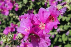 Cierre hermoso púrpura de la flor foto de archivo