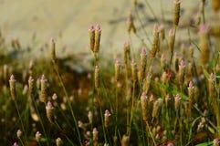 Cierre hermoso para arriba de bladygrass durante la mañana conocida como cylindrica de Imperata foto de archivo libre de regalías