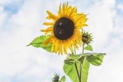 Cierre hermoso para arriba de un girasol amarillo con las abejas de la miel que se sientan en el centro Imagen de archivo