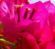 Cierre hermoso para arriba de una flor de la buganvilla imágenes de archivo libres de regalías