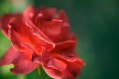 Cierre hermoso para arriba de una Rose roja Fotografía de archivo