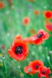 Cierre hermoso para arriba en campo de la amapola Concepto del fondo de la naturaleza del verano de la primavera Fondo inspirado  Foto de archivo libre de regalías