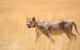 Cierre increíble encima de la opinión un león femenino con un cuello de seguimiento alrededor del cuello que camina a través de h Imagen de archivo libre de regalías