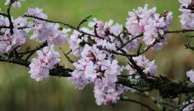 Cierre japonés de la cereza Foto de archivo libre de regalías