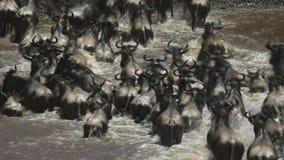 Cierre largo de la exposición encima de la opinión de arriba posterior el ñu que cruza el río de Mara metrajes