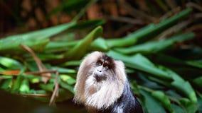 Cierre León-atado del mono de Macaque para arriba foto de archivo libre de regalías