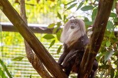 Cierre León-atado del mono de Macaque para arriba imagen de archivo