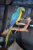 Cierre libre del detalle de la pluma del pirata animal del Macaw del pájaro del loro encima del amarillo azul Imagenes de archivo