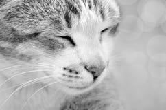 Cierre lindo del gato para arriba en blanco y negro Foto de archivo