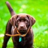 Cierre lindo del perrito de Labrador para arriba que juega en hierba Foto de archivo libre de regalías