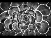 Cierre macro de la flor encima de blanco y negro Imagenes de archivo