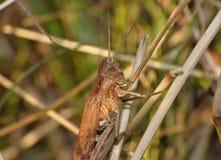 Cierre macro para arriba de un grillo encontrado en el prado, foto admitida el Reino Unido fotos de archivo