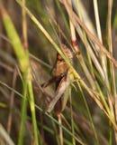 Cierre macro para arriba de un grillo encontrado en el prado, foto admitida el Reino Unido imagen de archivo