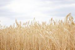 Cierre maduro del campo de trigo para arriba fotos de archivo libres de regalías