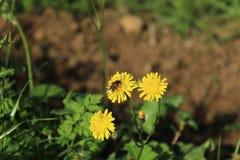 Cierre manchado de la flor del hawkweed encima del lanzamiento fotografía de archivo