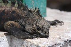 Cierre marina de la iguana de las Islas Gal3apagos para arriba Imagen de archivo