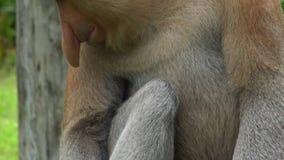 Cierre masculino del larvatus del Nasalis del mono de probóscide encima de la visión detallada animal endémico en peligro de Born almacen de video