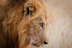 Cierre masculino del león para arriba Fotografía de archivo