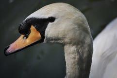 Cierre mojado para arriba - Pekín del cisne fotos de archivo
