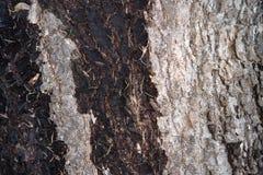 Cierre mojado y seco de la textura de la corteza del pino encima del detalle Imágenes de archivo libres de regalías