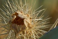 Cierre muerto del cactus del desierto para arriba Foto de archivo libre de regalías