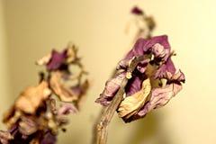 Cierre muerto púrpura de la planta para arriba con la hoja seca imagen de archivo libre de regalías