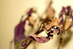 Cierre muerto púrpura de la planta para arriba con la hoja seca imágenes de archivo libres de regalías