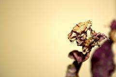Cierre muerto púrpura de la planta para arriba con la hoja seca Fotografía de archivo libre de regalías