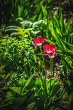 Cierre muy hermoso encima de la foto de tulipanes Mirada agradable del jardín Foto de archivo libre de regalías