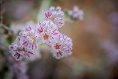 Cierre nativo occidental del rosa del wildflower de Australia para arriba Imágenes de archivo libres de regalías
