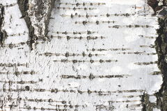 Cierre natural del documento de información de la textura de la corteza de abedul Fotos de archivo