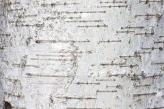 Cierre natural del documento de información de la textura de la corteza de abedul Imagenes de archivo