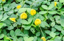Cierre natural para arriba de los descensos de la flor y del agua del cacahuete del pinto en jardín Imagen de archivo