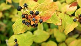 Cierre negro del chokeberry de la rama para arriba Imagen de archivo libre de regalías