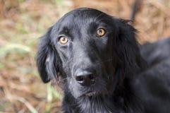 Cierre negro femenino del retrato del perro del perro perdiguero de la capa plana para arriba Foto de archivo libre de regalías