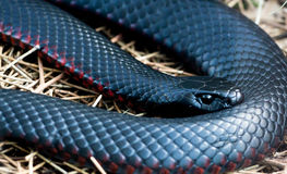 Cierre negro Rojo-hinchado de la serpiente para arriba Foto de archivo libre de regalías